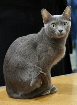 Korat Cat By Yog-Hurt's CC BY-SA 3.0