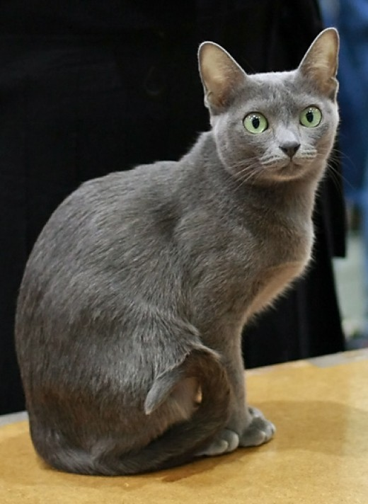 Korat Cat By Yog-Hurt's CC BY-SA 3.0