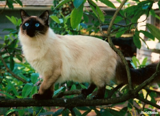 Old-Style Balinese Seal Point Cat By Mary Desmond CC BY-SA 3.0