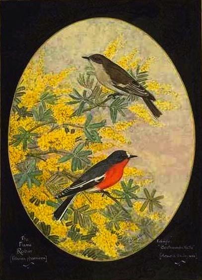 Flame Robin by Gostelow, E  E  Public Domain