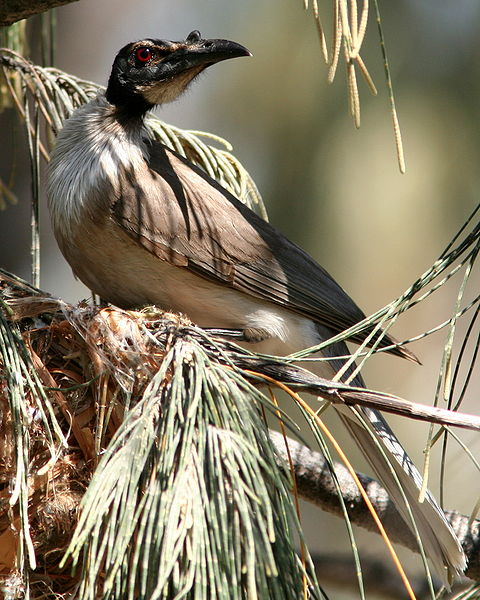 Noisy Friarbird By Glen Fergus CC BY-SA