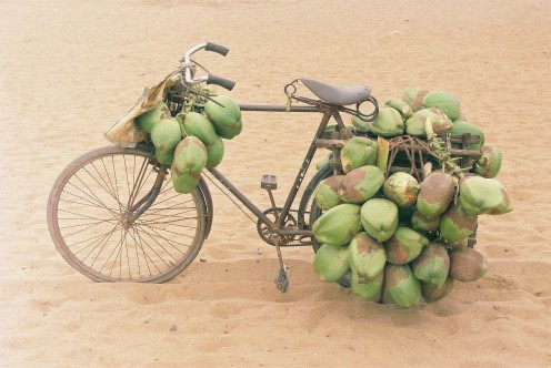 Coconut bicycle  obviously used  for transporting coconuts