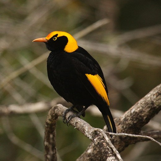 Male Regent Bowerbird By Seabamenum CC BY-SA 2.0