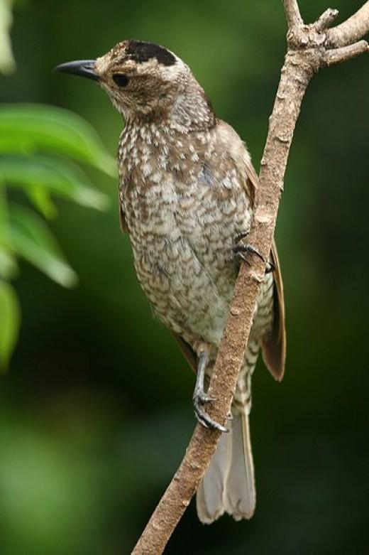 Regent Bowerbird Femal B Glen Fergus CC BY-SA 2.0