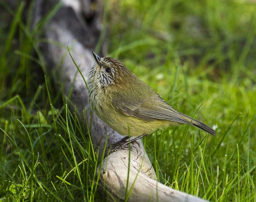 Striated Thornbill By Francesco Vermesi CC BY-SA 2.0