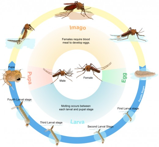 The mosquito life cycle has four parts. Break the cycle, and you cure the mosquito problem.