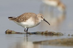 Beautiful Shorebirds from Australia