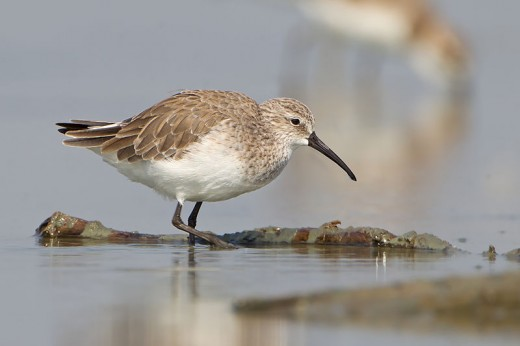 Curlew Sandpiper By J J Harrison CC BY-SA 3.0