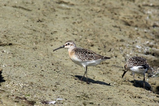 Curlew Sandpiper By Charlesjsharp CC BY-SA 4.0
