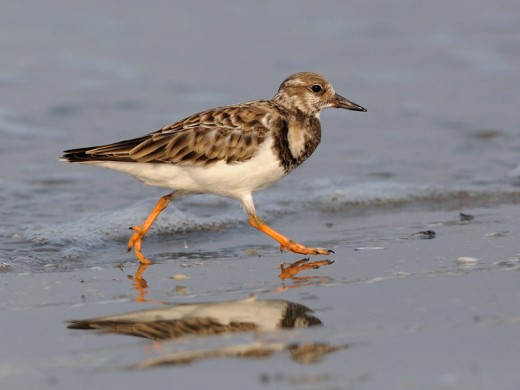 Ruddy Turnstone By shrickant ran CC BY-SA 2.0