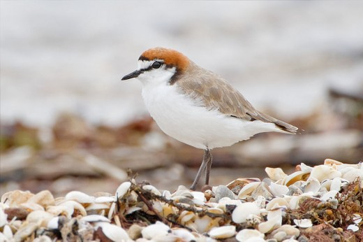 Red-capped Plover J J Harrison CC BY-SA 3.0