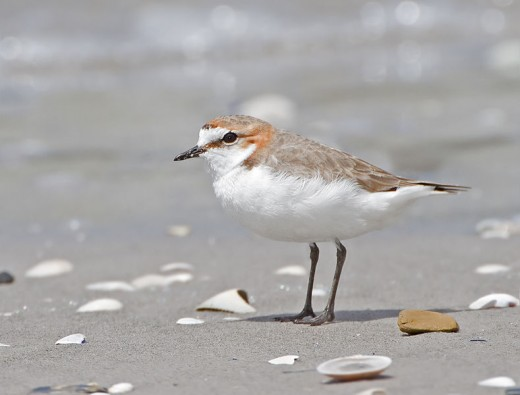 Red-capped Plover female By J J Harrison CC BY-SA 3.0