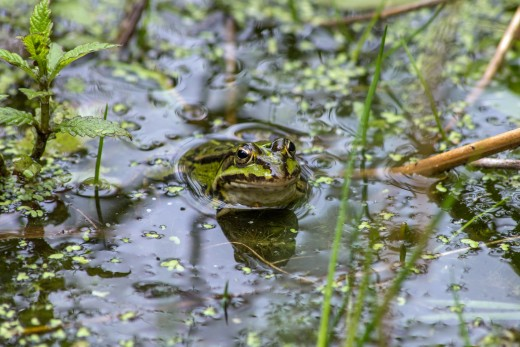 The American Bullfrog is considered an invasive species. Are the noisy frogs in your yard American Bullfrogs?