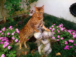 Bangie the Bengal Cat By Tyler T CC BY-SA 3.0