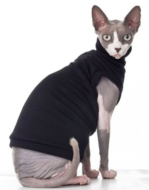 Sphynx cat wearing jacket By w christopher Voclher CC BY-SA 3.0
