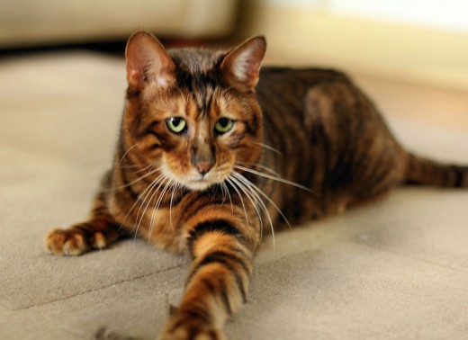 Toyger male queenanne By Gaynorjl CC BY-SA 3.0