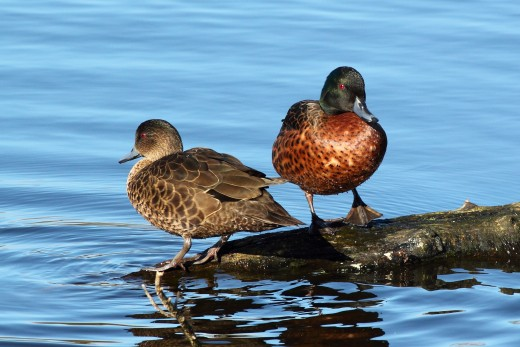 Chestnut Teal Anas castanea pair at Coolart Wetlands, Mornington Peninsula, Victoria, Australia