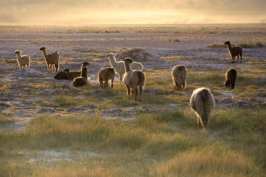 Llamas (Lama glama) in the sunset near San Pedro de Atacama at an altitude of approximately 2,400m (7,900 ft), Chile Norte Grande.