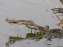 Water snake sunning on a branch.