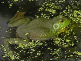 Bullfrog.