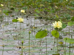 Yellow water lilies.