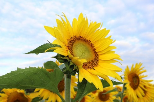 Dr. John Harvey Kellogg taught that God is inside sunflowers, because they look at the sun.