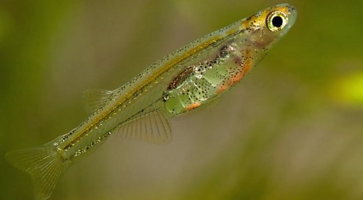 Paedoeypres fish Courtesy of news.softpedia.com