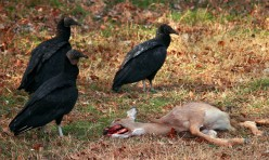 Vultures Serve a Very Useful Purpose