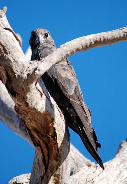 Black Falcon By Stuart Harris CC BY-SA 2.0
