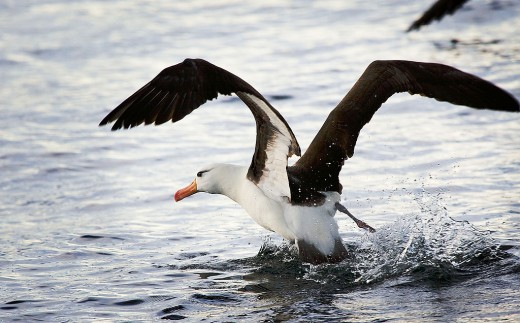 Black-browed Albatross By David - Albatross, CC BY 2.0, https://commons.wikimedia.org/w/index.php?curid=3738408