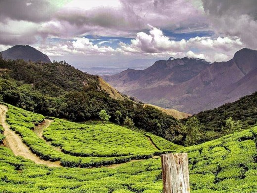 A Tea Estate at Munnar. These estates have a way of getting into our hearts..