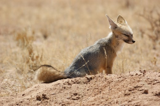 A Bat-eared Fox