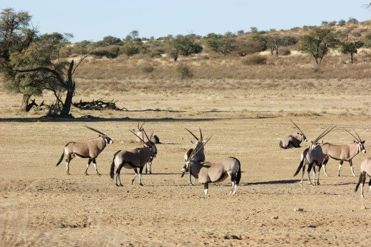 The Magnificent Gemsbok