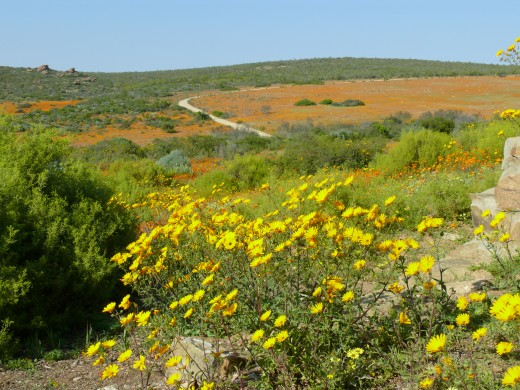 Sklipad section of Namaqua National Park- the desert in full bloom