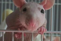 Godiva - Sphynx rat