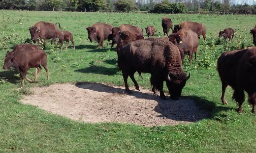 Pohl Bison herd in the field