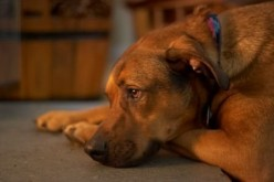 Common Poisons to Dogs