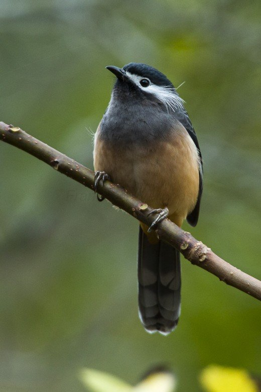 By Francesco Veronesi from Italy - White-eared Sibia - Taiwan_S4E8153, CC BY-SA 2.0, https://commons.wikimedia.org/w/index.php?curid=45593726