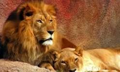 Lion.. Panthera Leo