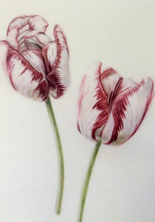 Tulip print by louise Young