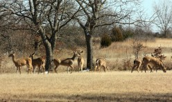 A small herd of white-tail deer, grazing in winter.