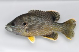 A Typical Sunfish