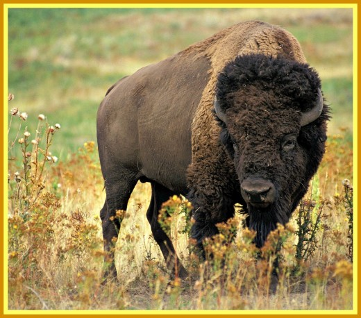 The last thing you ever want is to be alone and on foot and facing this 2000 pound bull buffalo.