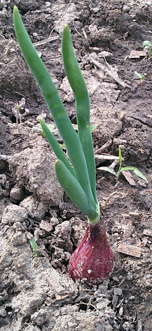 Planting your onions more than 1 inch deep hinders production of large bulbs.