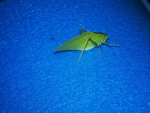 Leaf insects closely related to Stick insects...