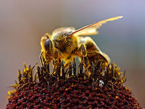 A bee can produce 2 pounds of honey by tapping into about two million flowers.