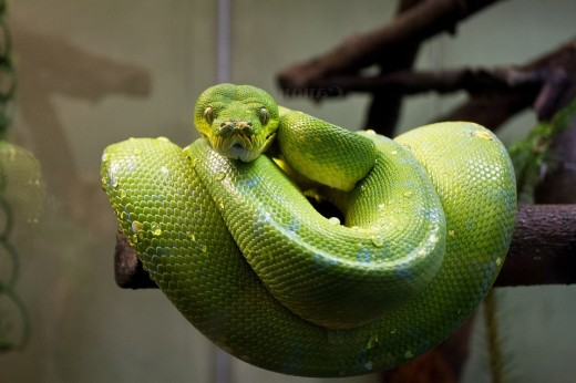 The green tree python is a beautiful but aggressive species and it should only be kept by experienced reptile keepers.