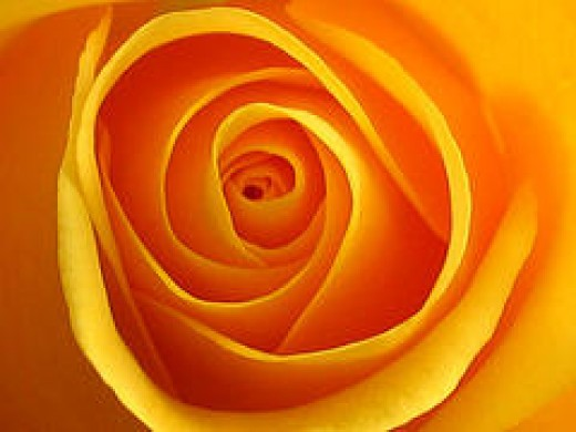 The inner folds of this rose bring forth curiosity...what lies within each delicate curve?