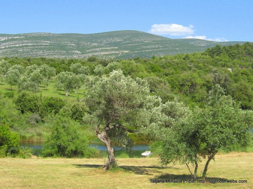 Olive trees next to the river Karishnica on the land which belongs to the  monastery