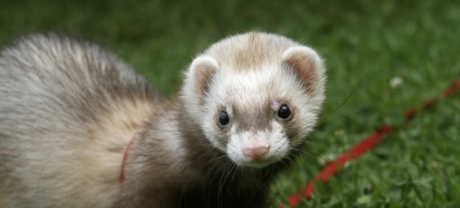 Pet Ferrets